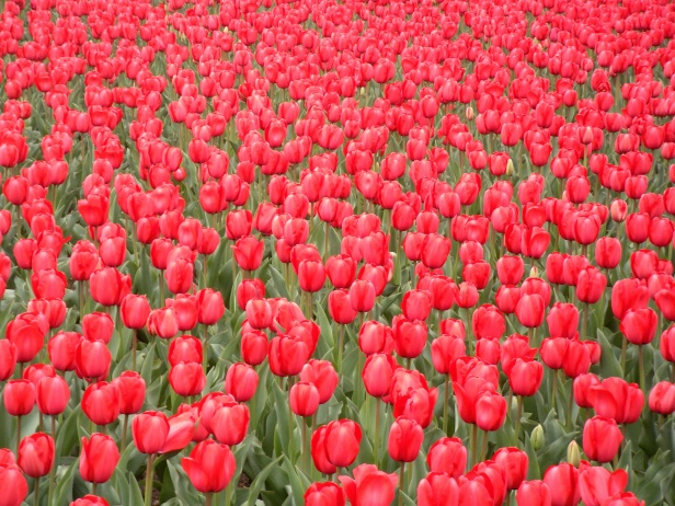 1st Division Tulips